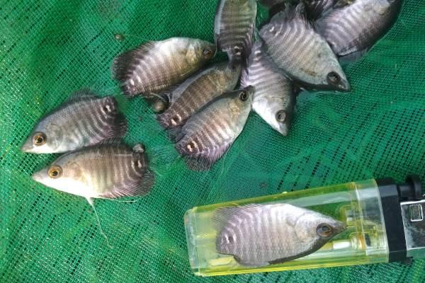 Bibit Ikan Gurame Unggul dan Cara Budidaya Ikan Gurame Agar Cepat Besar