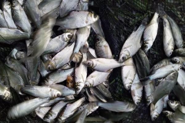 bibit ikan tawes