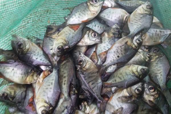 Bibit Ikan Bawal Dari Syahara Fish Untuk Sukses Budidaya Syahara Fish