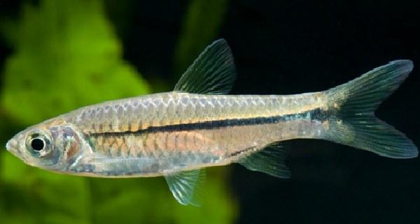 cara budidaya ikan wader